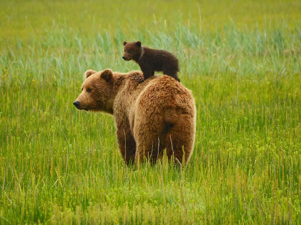 Nach vielen Jahren wurden im Gebiet von Valjevo Braunbären gesichtet