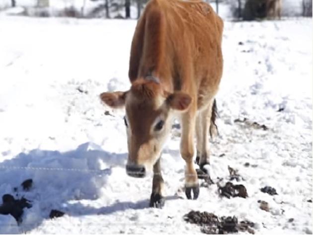 U svetu raste potražnja za mini kravama - Malo jedu, a daju mnogo mleka