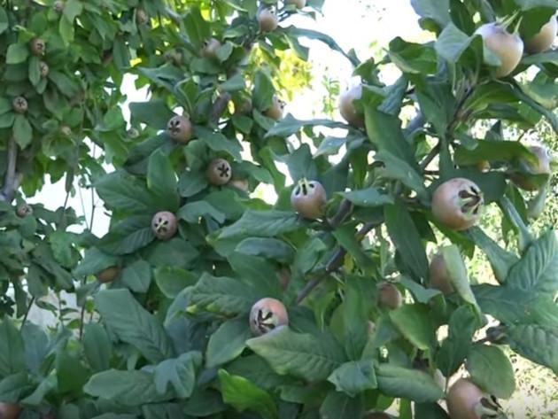 Mušmula, laka za uzgoj i isplativa