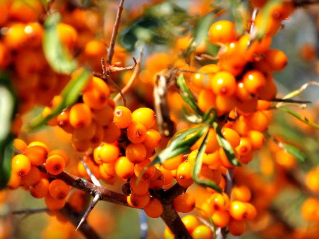 Oblepiha ili vučji trn - Lekovite bobice iz Sibira