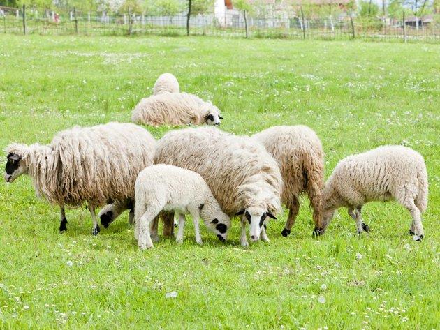 Sjenička oplemenjena ovca osvaja Šumadiju - Nije zahtevna, lako se jagnji, otporna na vremenske uslove i bolesti