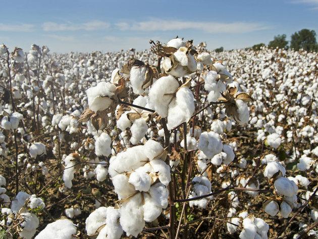 SAD zabranile uvoz pamuka i pamučne robe koju proizvodi kineski XPCC