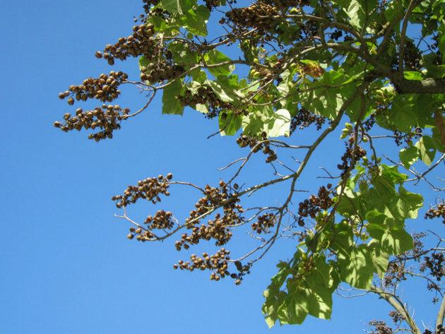 U Srbiji sve popularnije uzgajanje paulovnije - Početna ulaganja nisu velika, a zarada ide i do 50.000 EUR