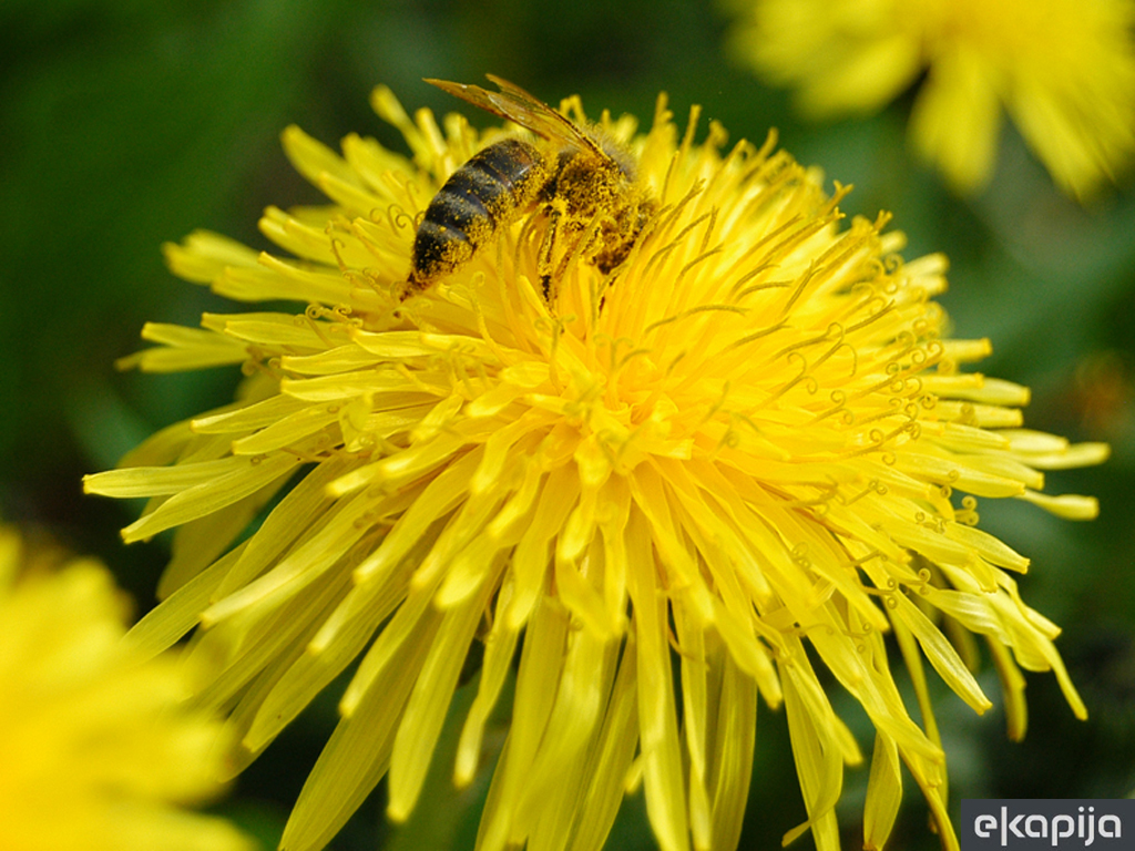 Zašto svet ostaje bez hrane? - Izumiranje pčela loš znak