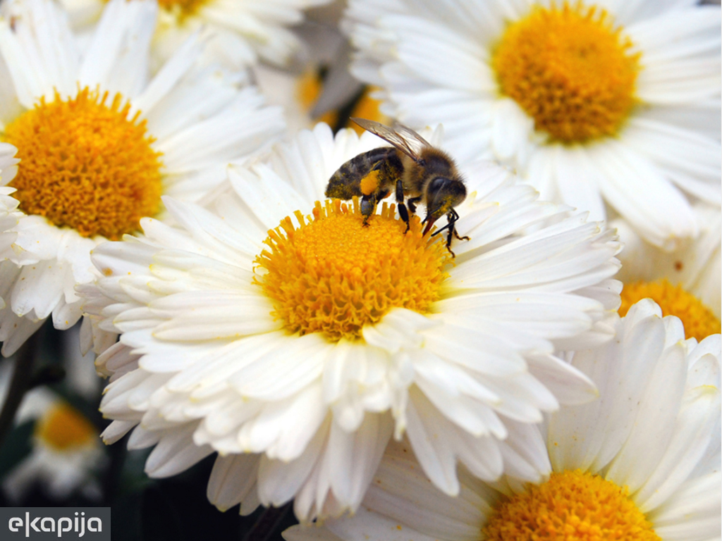 Pčele proglašene najvažnijim bićima na planeti