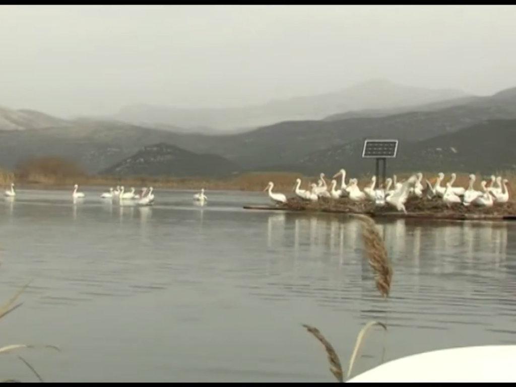Za 150 mladih uvećana kolonija pelikana na Skadarskom jezeru