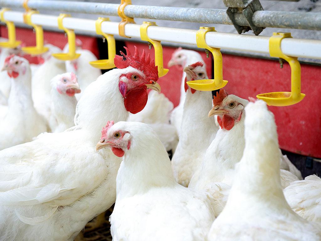 Agrokomerc nakon više od 20 godina pokrenuo primarnu živinarsku proizvodnju
