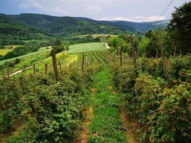 Raspberry plantations on Rajac