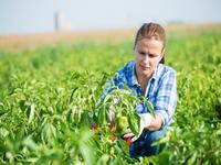 Crvena paprika donosi posao bijeljinskim porodicama - Uskoro poziv za učešće u projektu