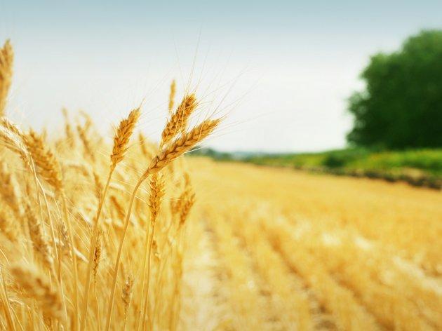 Izvoz žitarica povećan gotovo za 100% - Poljoprivrednici negoduju zbog izvoza primarnih proizvoda