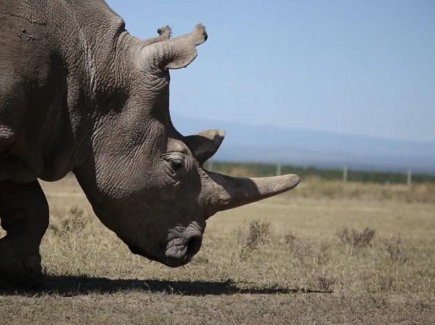 Tobi, najstariji beli nosorog uginuo na putu do skloništa - Na svetu preostala još tri primerka vrste koja je pred potpunim nestankom
