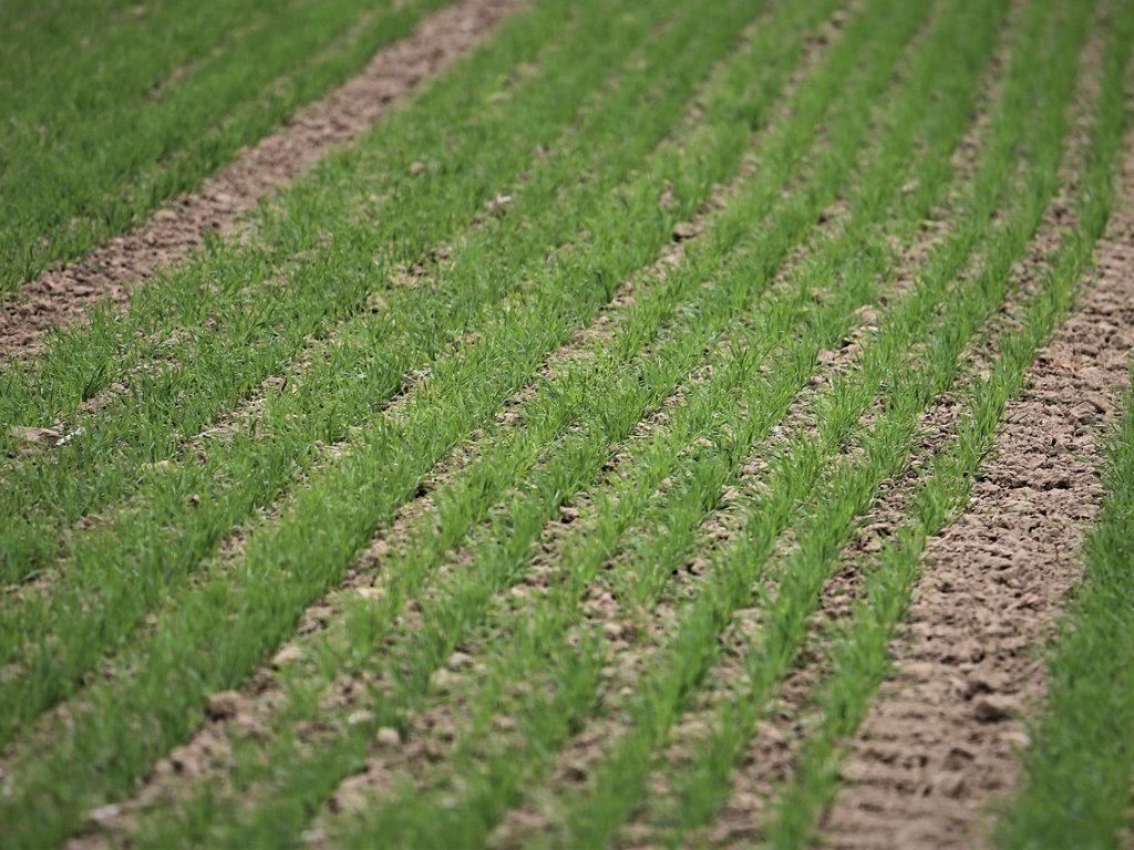 Kada krenuti sa prihranom ozime pšenice?