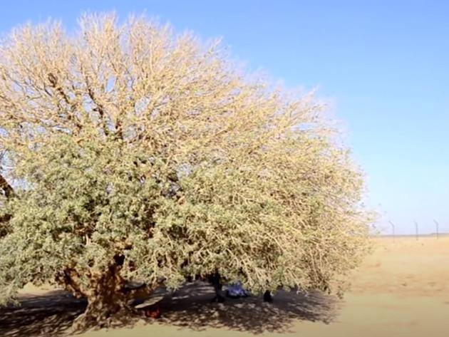 Satelitski snimak otkrio milijarde stabala u afričkim pustinjama