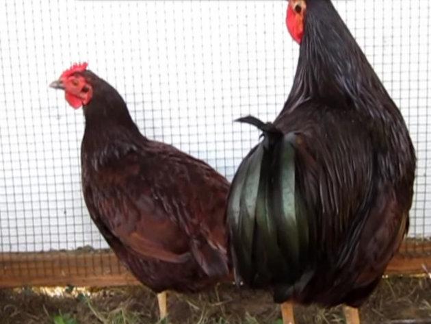 Živina rase rodajland nosi 280 jaja godišnje - Meso izuzetnog kvaliteta