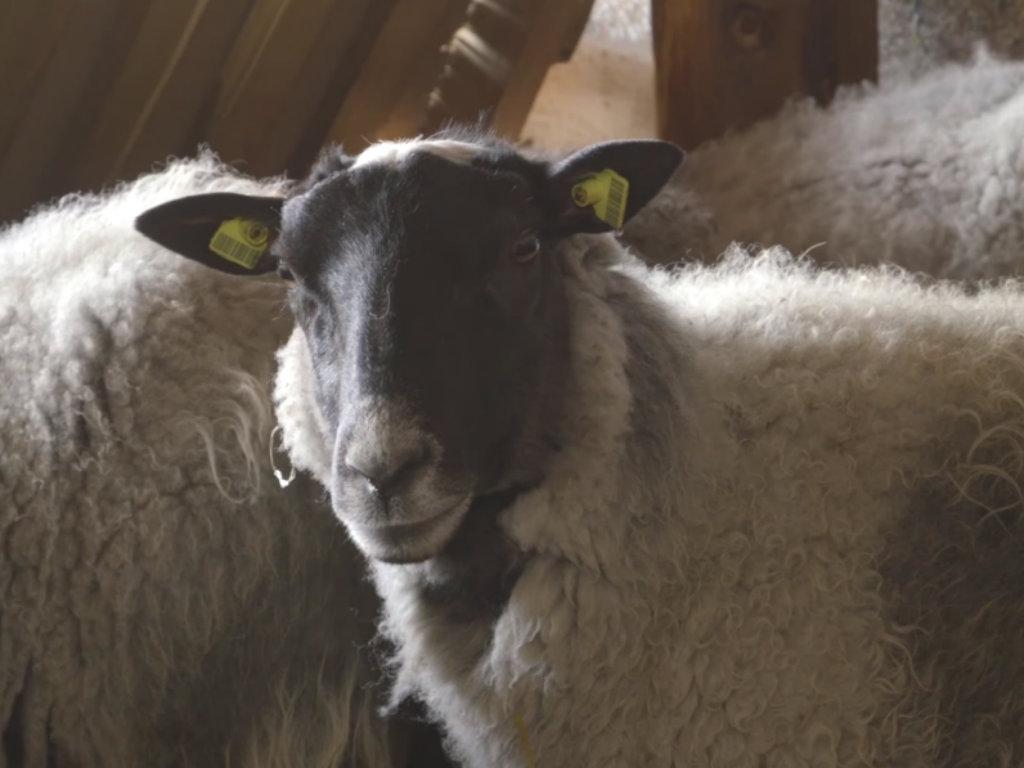 Sve više ovčara odlučuje se za romanovsku ovcu, koja važi za najplodniju na svetu