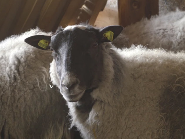Romanovska ovca - Visokomlečna rasa, koja jagnji dva jagnjeta