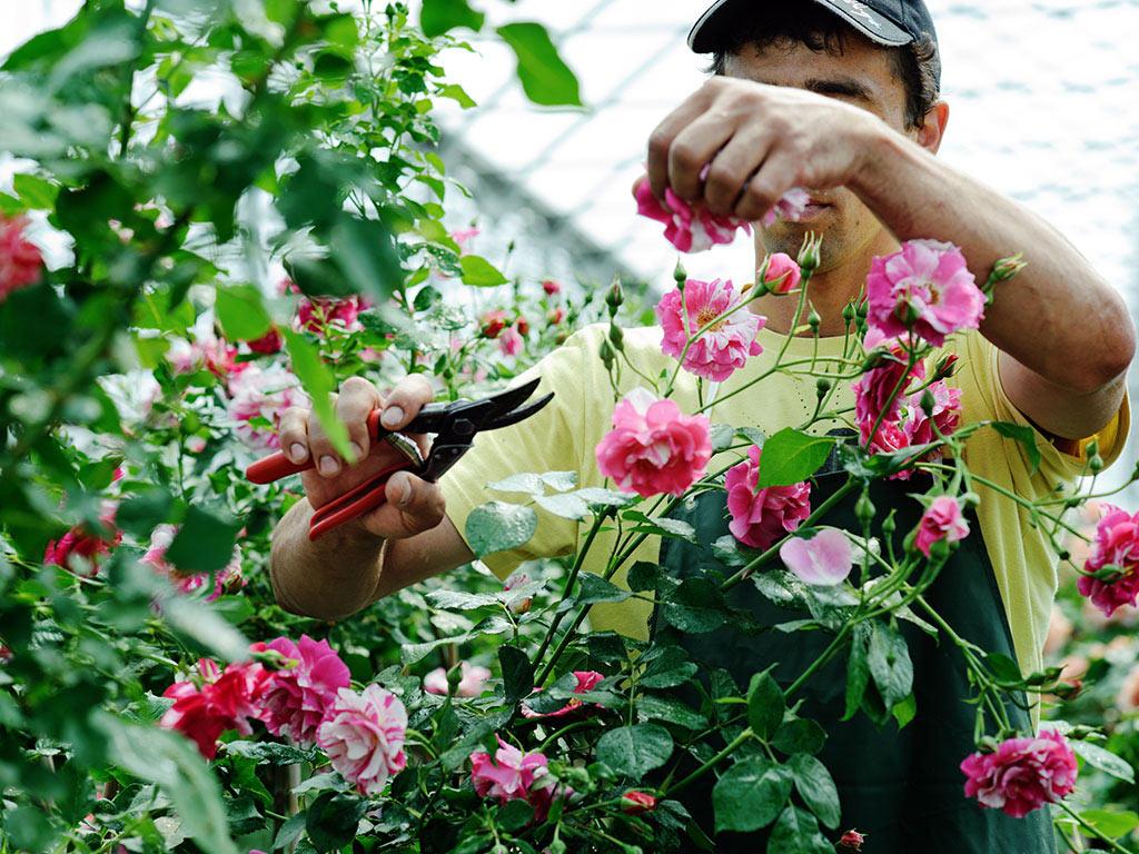 Cvećarstvo zahteva mnogo rada i ulaganja, ali i donosi profit