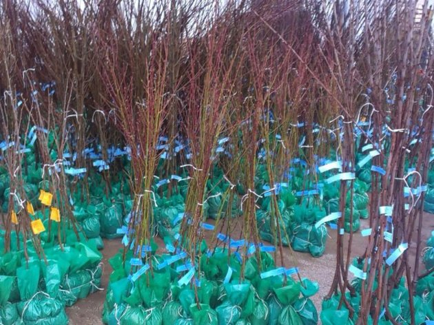 Fruit seedlings and vine grafts from Trstenik exported to Russia
