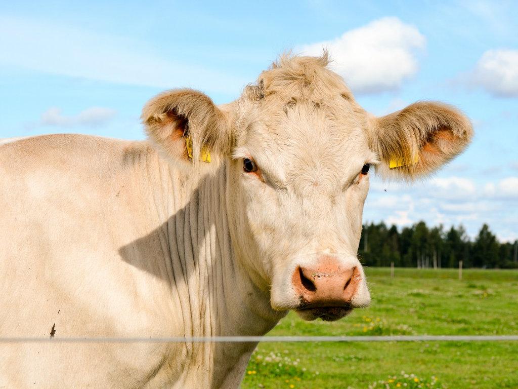 Šarole goveda - Vodeća rasa u svetu po količini proizvedenog čistog mesa po grlu