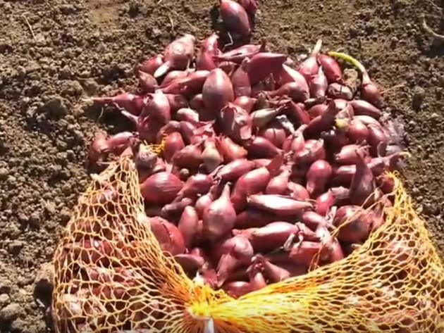 Za kilogram sjemenskog luka i do 5 KM - Nestašica prouzrokovala veliki rast cijena