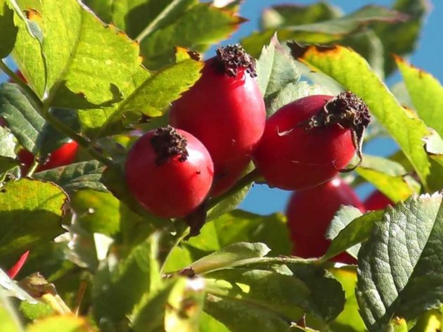 Uzgoj plantažnog šipurka - Siguran plasman, dobra zarada