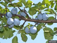 Rusija upozorila da bi mogla da obustavi uvoz srpskog voća zbog zaraze