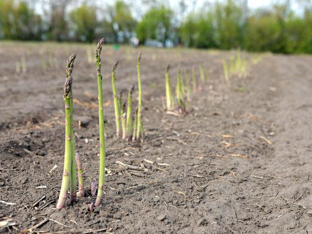 Uzgoj šparoga sedam puta isplativiji od pšenice - Zarada i do 6.500 KM po hektaru