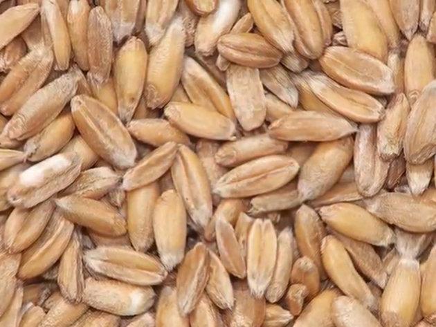 Setva spelte jefitinija od pšenice - Prinos od 4,5 tone po hektaru