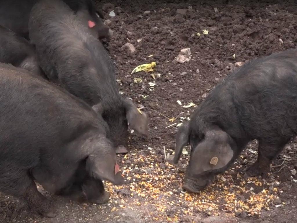 Autohtona sorta svinja koju treba uzgajati - Moravka daje 8-10% više mesa u odnosu na mangulicu