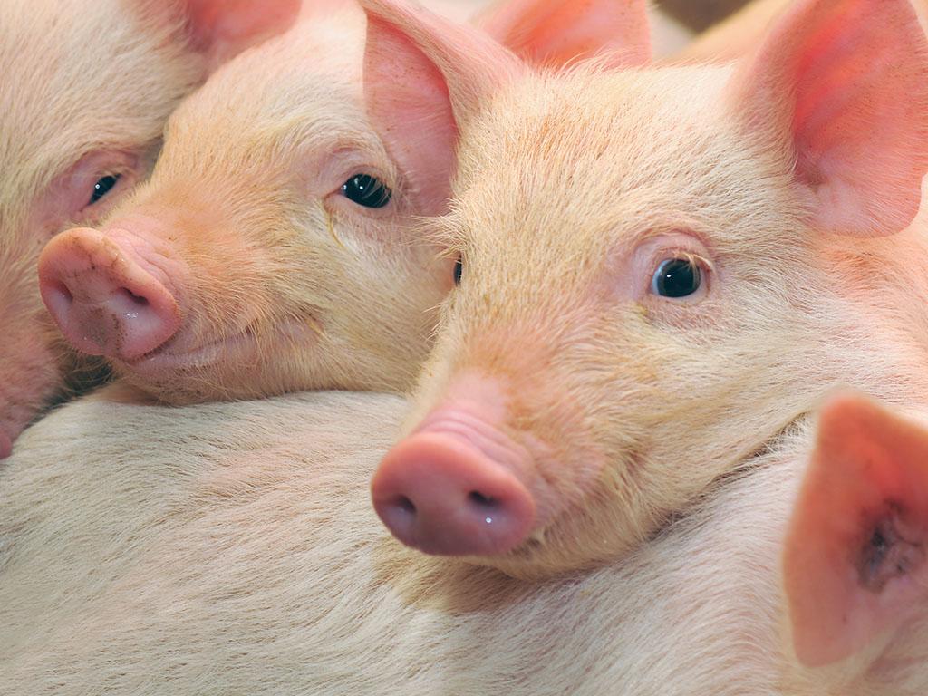 Genetski modifikovane svinje daleko od Srbije - Veći problem zabrinjavajuća situacija u svinjarstvu