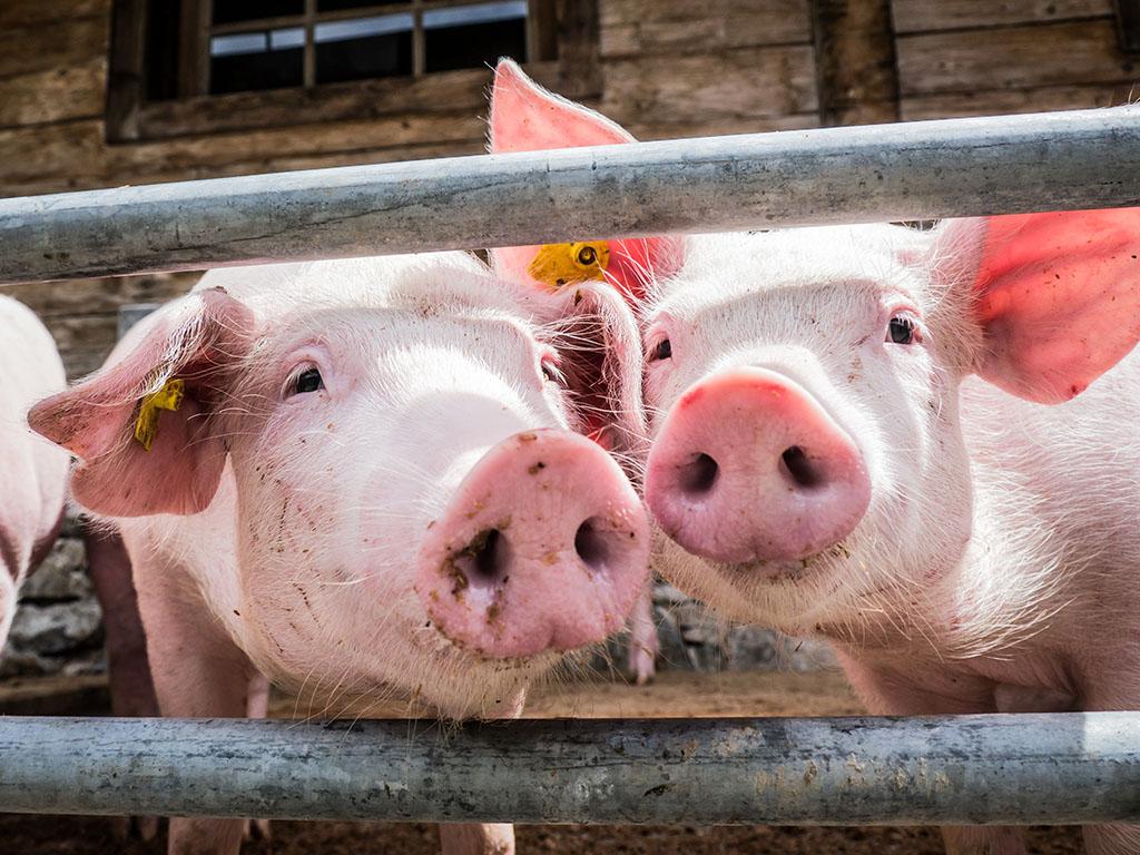 Holandski farmer od mlijeka svinje pravi skupocjeni sir