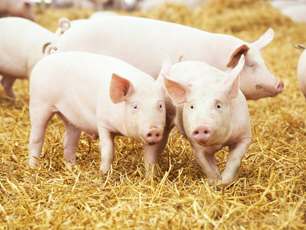 Danish Researchers: Pig Blood as Source of Protein for Human Food