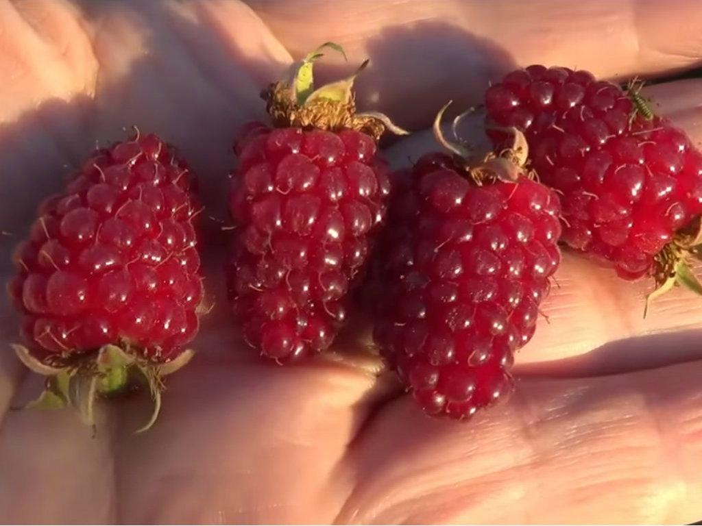 Bobičasto voće dobijeno ukrštanjem kupine i maline - Tayberry pogodan za uzgoj na manjim površinama