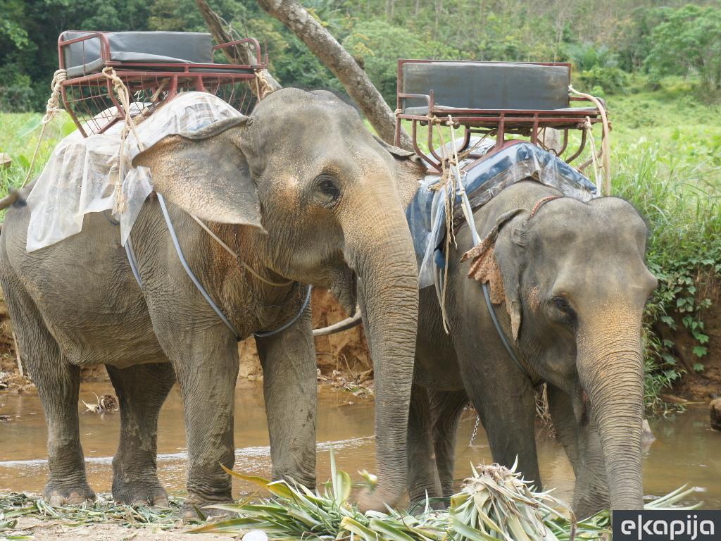 Slonovi kriju lijek za rak?