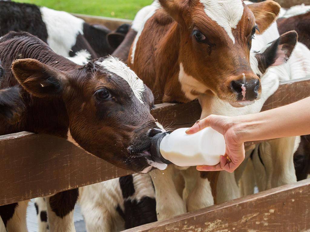 Proizvođači junećeg mesa zadovoljni interventnim otkupom - Bolja vest za male proizvođače