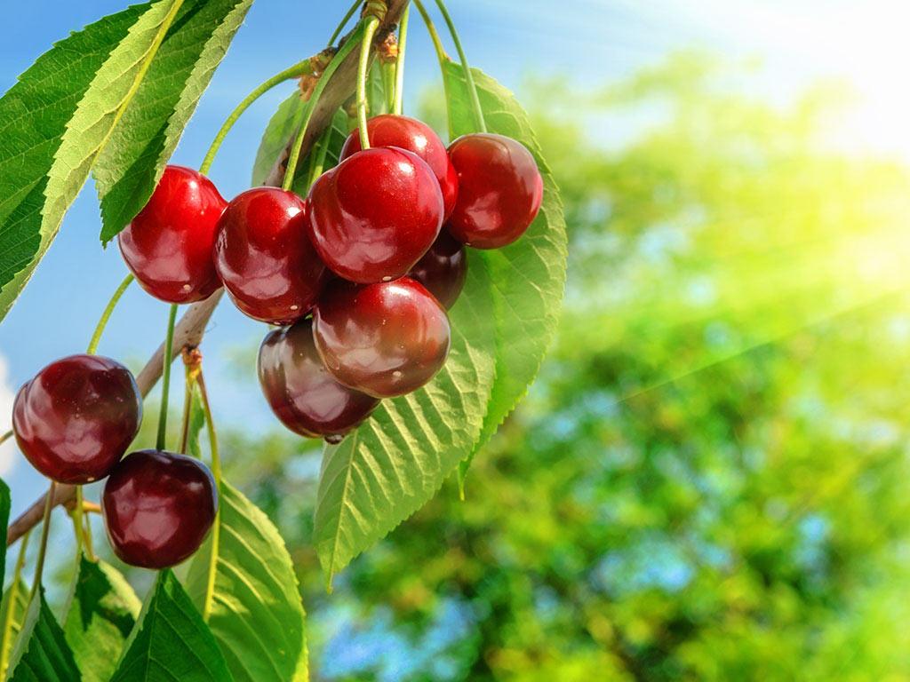 Sadnja trešnje u Banatu - Koje sorte odabrati i kako se zaštititi od mraza?