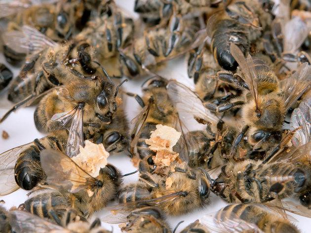 Više od 500 miliona pčela uginulo za tri mjeseca u Brazilu