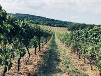I Srbija ima Malvaziju - Vinarija Verkat na Fruškoj gori pravi vino iz jedinstvenog zasada iz 1957. godine
