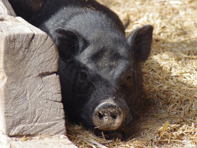 Vijetnamska svinja jednostavnija za uzgoj od domaćih svinja - Za prasiće cena i do 30 EUR