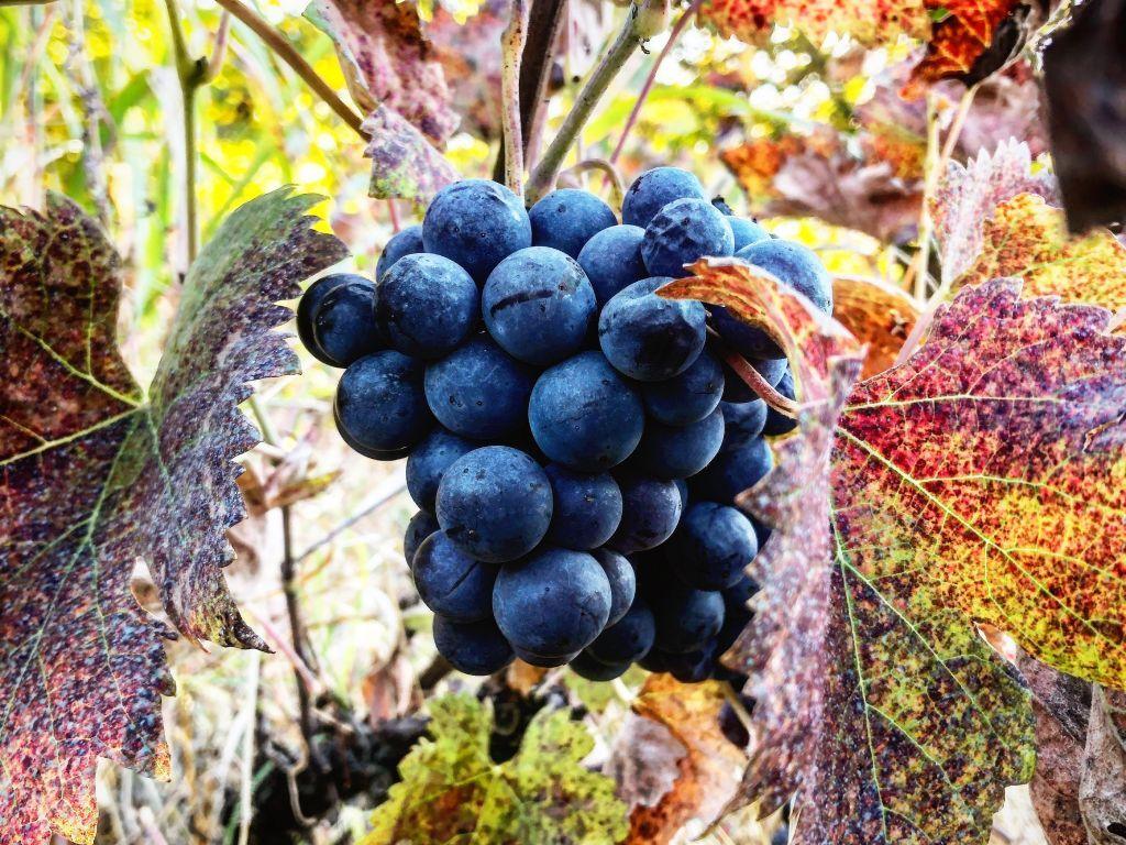 Vinarija Vilimonović čuva tradiciju proizvodnje vina od 19. veka - Avantura, igra, ljubav i strast (FOTO)