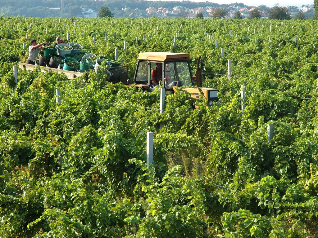 Trebinjske vinare poslužilo vrijeme za radove - Zbog pandemije upitna prodaja vina