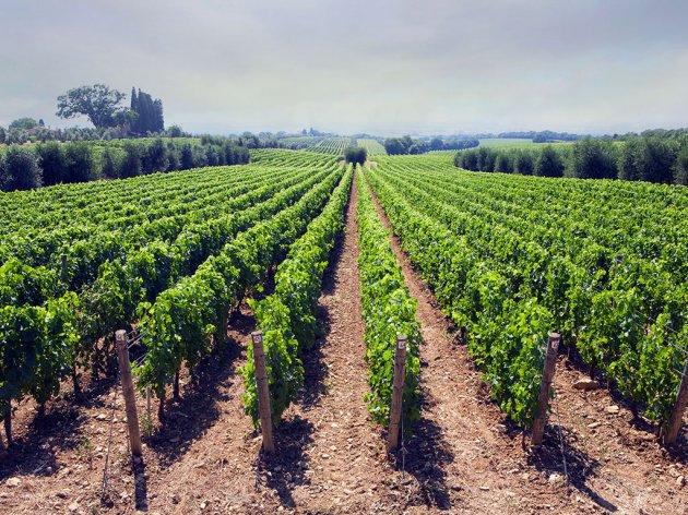 Tamjanika na još 1,2 hektara u vinariji Lastar