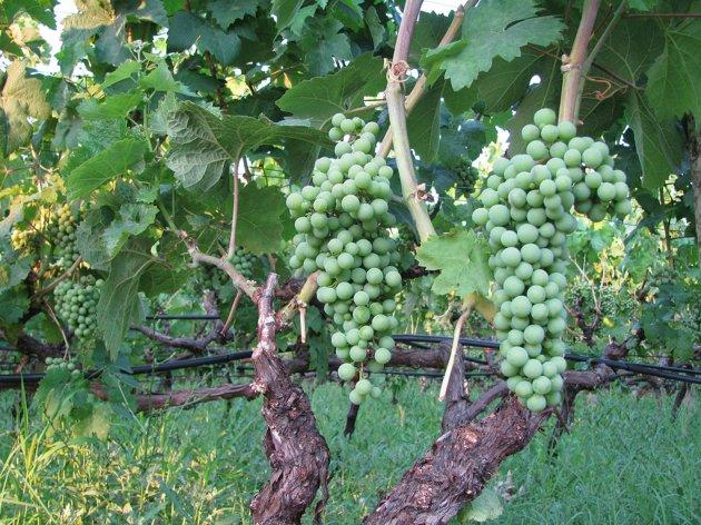 Vinarija Kiš planira proširenje vinograda - Do kraja 2021. godine 15 hektara