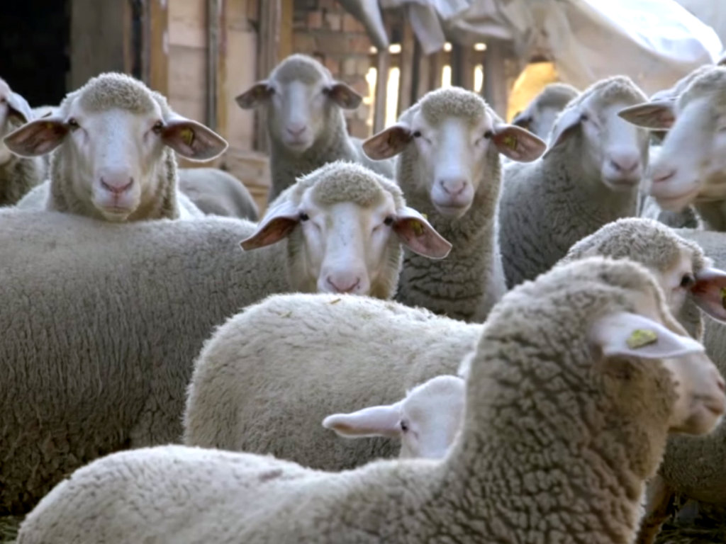 Vlasnik najveće farme ovaca u Toplici uzgaja  500 ovaca i jagnjadi