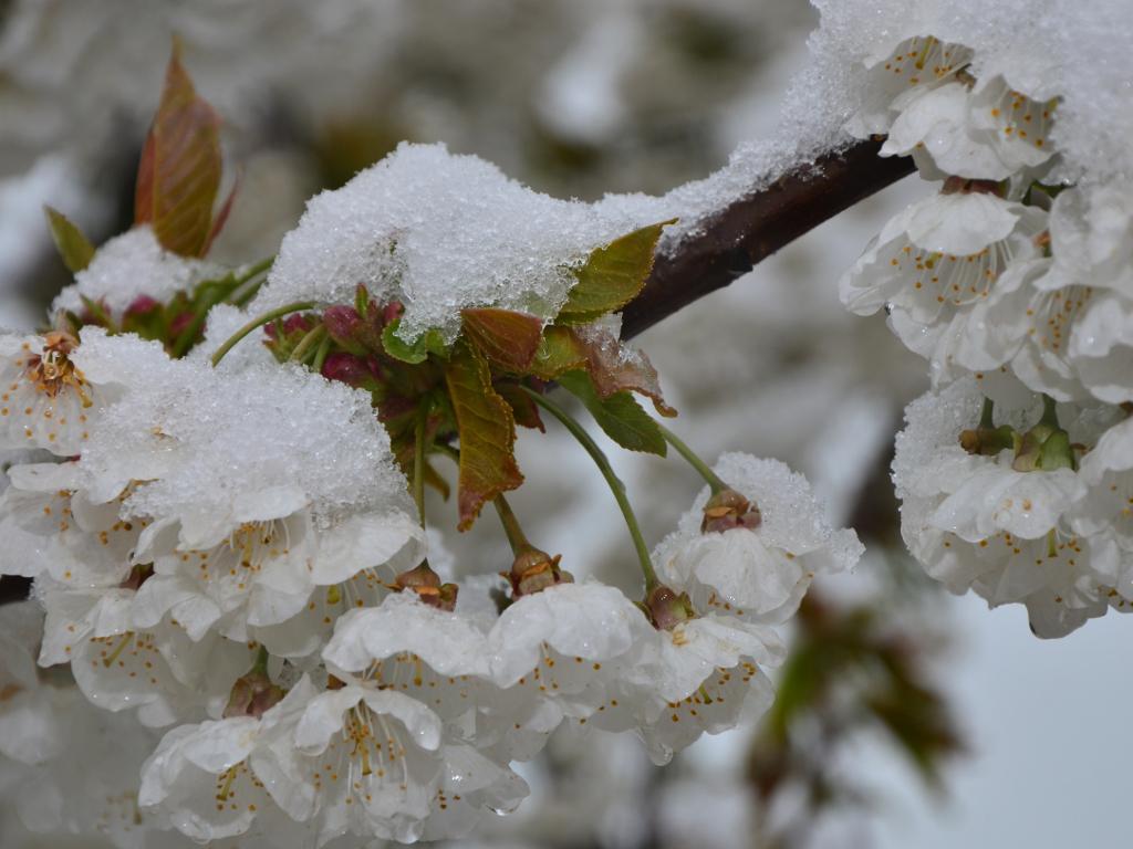 Sav trud bjelopoljske porodice snijeg sravnio sa zemljom - Uništeno 28 ari malinjaka pod plastenikom