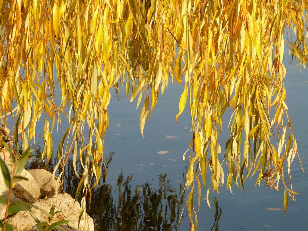 Bele vrbe i bagrem za pošumljavanje okoline Apatina