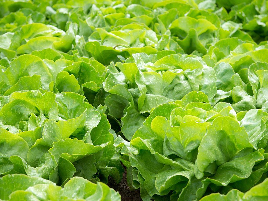 Biznis sa zelenom salatom idealan za početnike - Od jesenjeg zasada duplo veća zarada